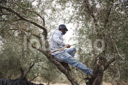 Olivenernte (Palästina, CANAAN) - lobOlmo Fair-Trade-Fotoarchiv