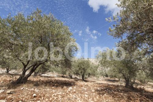 Olivenhain (Palästina, CANAAN) - lobOlmo Fair-Trade-Fotoarchiv