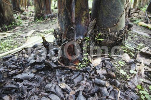 Organische Düngung eines Banenenfelds (Ecuador, UROCAL) - lobOlmo Fair-Trade-Fotoarchiv