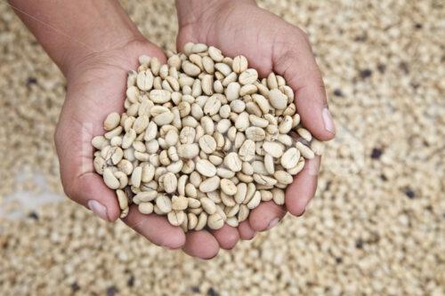 Pergamentkaffee (Mexiko, UCOAAC) - lobOlmo Fair-Trade-Fotoarchiv
