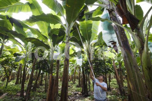 Pflanzenschutz im Bananenfeld (Ecuador, UROCAL) - lobOlmo Fair-Trade-Fotoarchiv