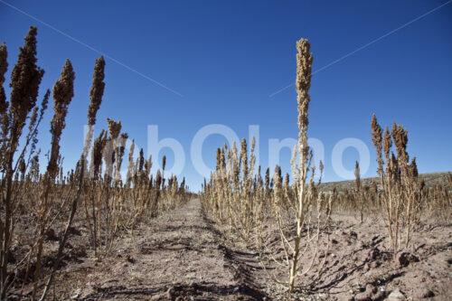 Quinoafeld (Bolivien, ANAPQUI) - lobOlmo Fair-Trade-Fotoarchiv