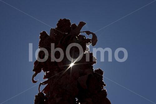 Quinoapflanze (Bolivien, ANAPQUI) - lobOlmo Fair-Trade-Fotoarchiv