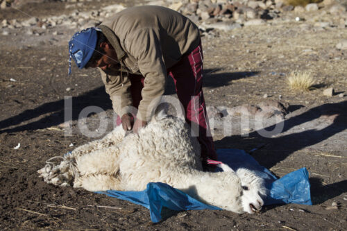 Schur eines Alpakas (Peru, CIAP) - lobOlmo Fair-Trade-Fotoarchiv