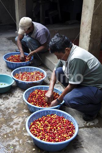 Sortieren geernteter Kaffeekirschen (Guatemala, GUAYA'B) - lobOlmo Fair-Trade-Fotoarchiv