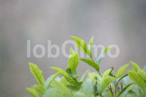 Teeblätter (Nepal, KTE) - lobOlmo Fair-Trade-Fotoarchiv