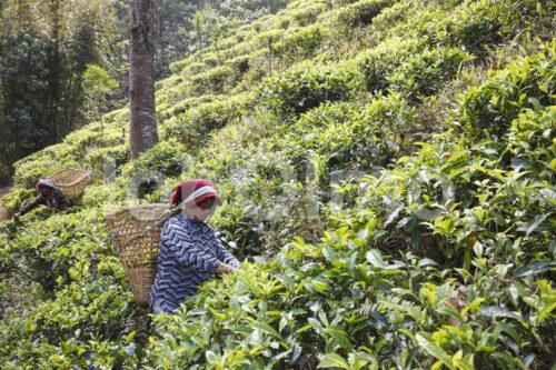 Teeernte (Nepal, KTE) - lobOlmo Fair-Trade-Fotoarchiv