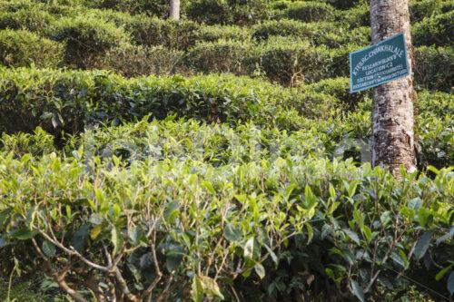 Teefeld (Nepal, KTE) - lobOlmo Fair-Trade-Fotoarchiv
