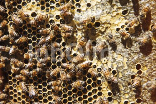 Wabe mit Bienen (Guatemala, GUAYA'B) - lobOlmo Fair-Trade-Fotoarchiv