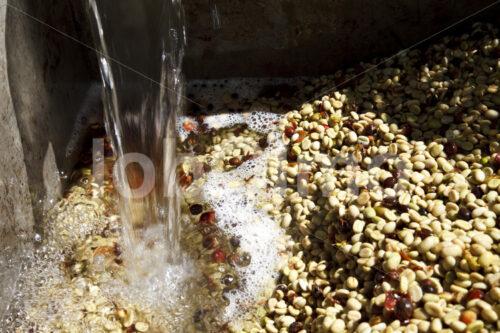 Waschen von Kaffeebohnen (Mexiko, UCOAAC) - lobOlmo Fair-Trade-Fotoarchiv