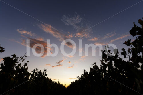 Weinfeld (Südafrika, Stellar Organics) - lobOlmo Fair-Trade-Fotoarchiv