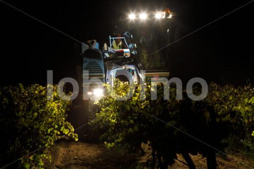 Weinlese (Südafrika, Stellar Organics) - lobOlmo Fair-Trade-Fotoarchiv