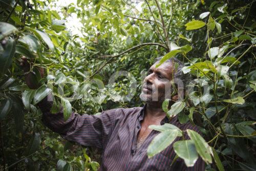 Zimtbauer (Sri Lanka, SOFA/BioFoods) - lobOlmo Fair-Trade-Fotoarchiv
