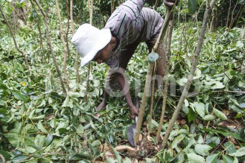Zimternte (Sri Lanka, SOFA/BioFoods) - lobOlmo Fair-Trade-Fotoarchiv