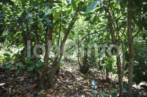 Zimtfeld (Sri Lanka, SOFA/BioFoods) - lobOlmo Fair-Trade-Fotoarchiv