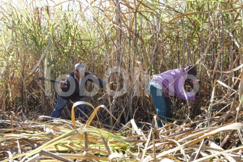 Zuckerrohrernte (Paraguay, Manduvira) - lobOlmo Fair-Trade-Fotoarchiv