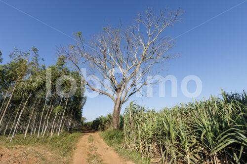 Zuckerrohrfeld (Paraguay, Manduvira) - lobOlmo Fair-Trade-Fotoarchiv