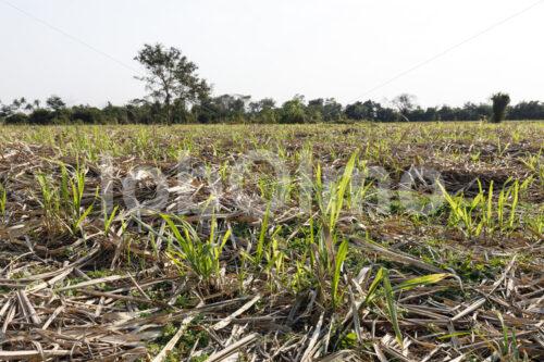 Zuckerrohrschösslinge (Paraguay, Manduvira) - lobOlmo Fair-Trade-Fotoarchiv