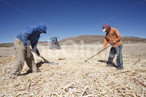 Zusammenrechen gedroschener Quinoapflanzen (Bolivien, ANAPQUI) - lobOlmo Fair-Trade-Fotoarchiv